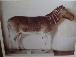 Old Taxidermy photo- Quagga by Lot1rthylacine