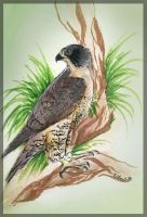Stella the Peregrine falcon by Seranalu