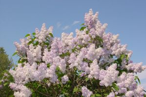 More June Lilacs by amberchrome