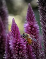 Honey Bee by TheUniphotoghrpher