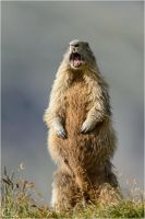 Alpine Marmot by ClaudeG