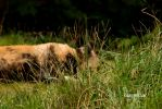 African Dog-3 by Evanescent-Chaos