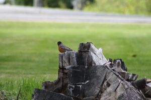 robin on a stump by krispykritta
