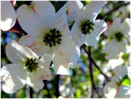 Dogwood by sfelti