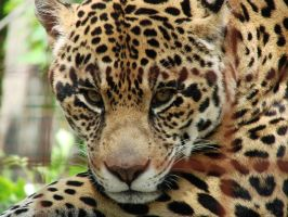 Eyes On You - Jaguar by roamingtigress