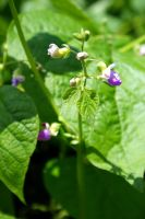 Phaseolus vulgaris (Common bean plant) by Fire-Fuel