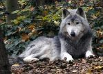 wolf5 by syccas-stock