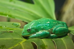 Emerald Tree Frog by PennyHorrible