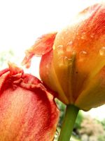 Raindrops on Tullips by See-Leanna-Play--xx