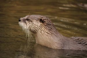 .:American River otter:. by matrix9000