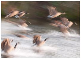 Canada Geese Landing by madrush08