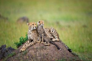 Cheeta with a cub by 00Tiger00