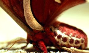 Promethea Moth by Meddling-With-Nature