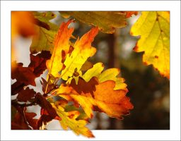 Autumn Oak Tree Leaves... by MichiLauke