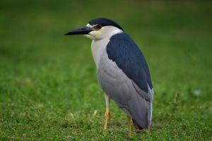 Night Heron by ChristopherPayne