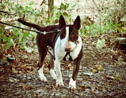 Nadal The English Bull Terrier by scribbleXcore