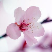 Cherry Bomb II by FreeSpiritFotography