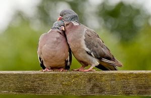 Lovebirds by Yslen