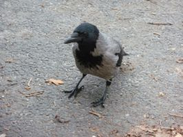 hooded crow by mimose-stock