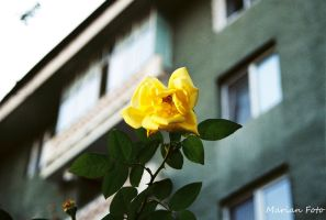 Yellow Rose by mmariang