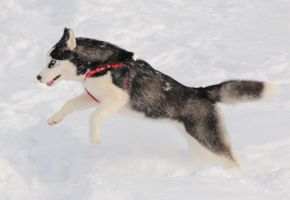 Husky Jump by DeingeL-Dog-Stock