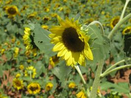 Sunflower 01 by Party-Hat-Cat