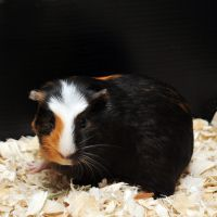 CPR Guinea Pigs XVII by LDFranklin