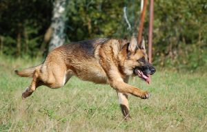 German Shepherd Dog 2 by Hiirakko