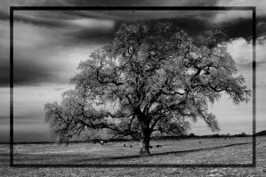 Big Oak on its own by kayaksailor