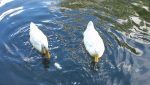 Late August White Ducks 2 by Dan-S-T