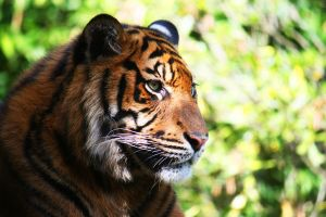 Sumatran tiger 3 edited by Sabbie89