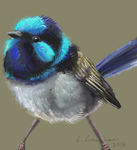Fairy wren by Tianithen