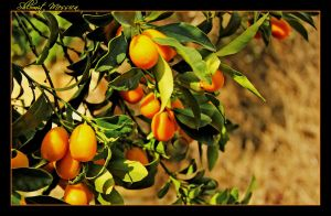 Kumquat fruits by ShlomitMessica