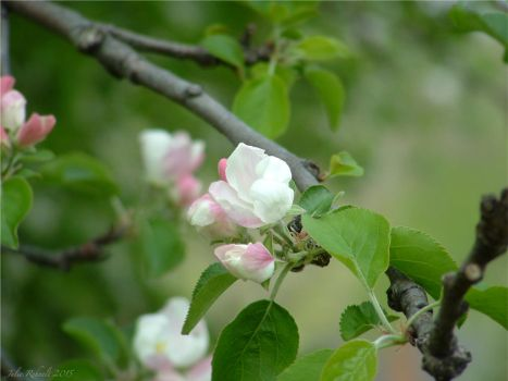 Apple Blossoms 2 by jewels4665