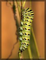 Black Swallowtail 40D0023740 by Cristian-M