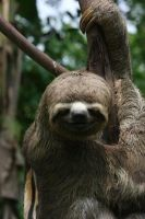 Three-Toed Sloth by Katerina917