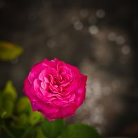 Rose of my life by feria233