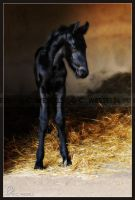 Friesian Foal I by Foxfire-Z