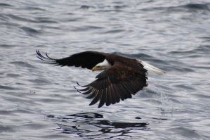 skimming eagle by Glacierman54