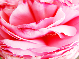 red pink rose by zardin-secret