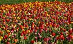 tulips by Dieffi