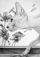 Sphynx cat in graphite by mo62