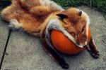 Halloween Fox by Urban-Mongoose