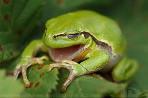 Yawning Tree Frog by thrumyeye