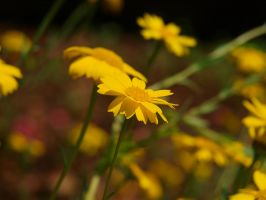 Unknown Yellow Flower 02 by botanystock