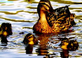Mother and ducklings by IamNasher