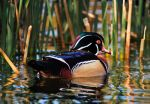 Wood Duck by Merlinstouch