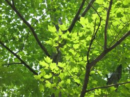 Maple canopy 1 by bluemaus