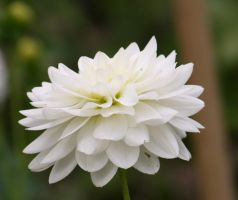 white dahlia by ingeline-art