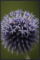 thistle by angel739